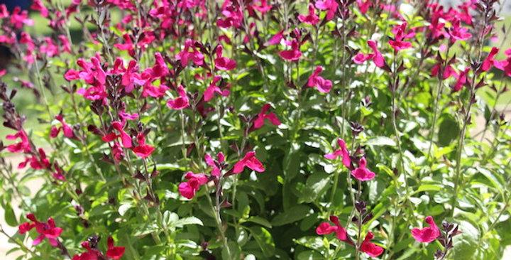 Good Vibrations (Salvia 3 colour blend)