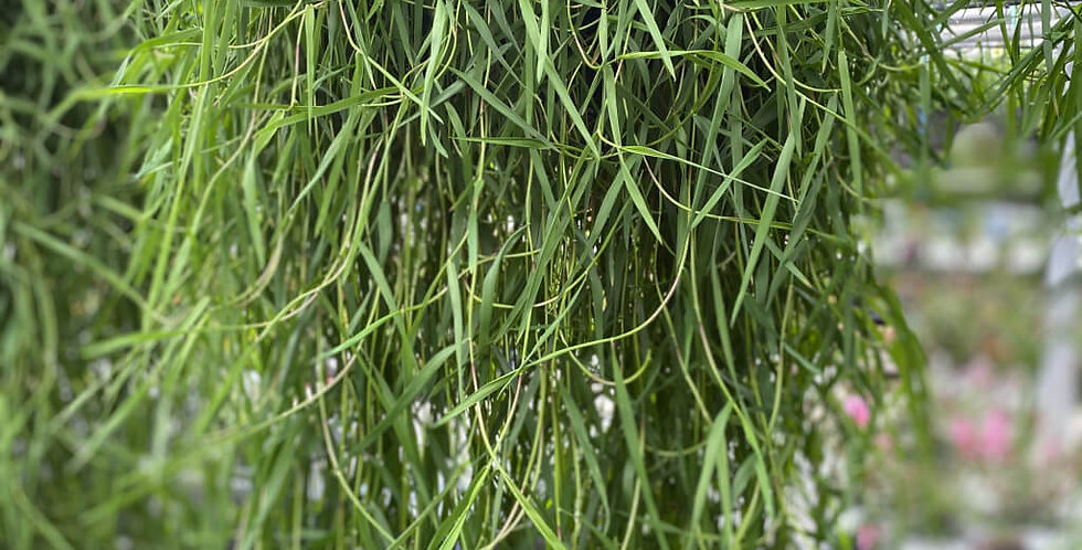 'Green Twist' Trailing Bamboo (Basket)