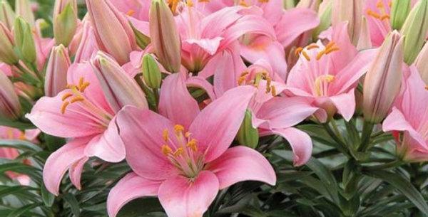 'Tiny Icon' Asiatic Lily