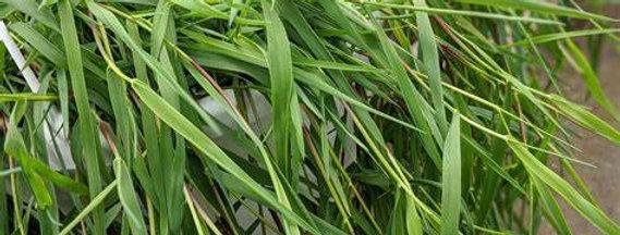 'Green Twist' Trailing Bamboo