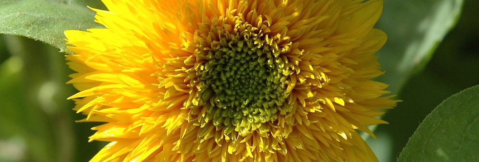 'Teddy Bear' Sunflower