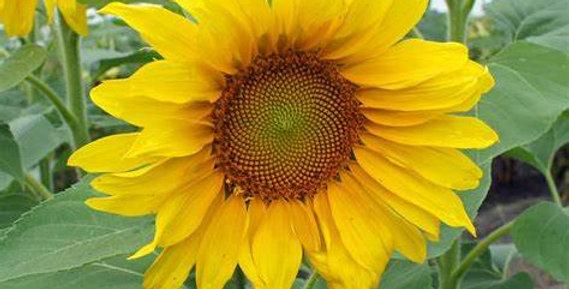 'Big Smile' Sunflower