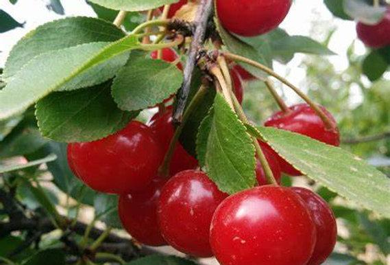 Crimson Passion Cherry