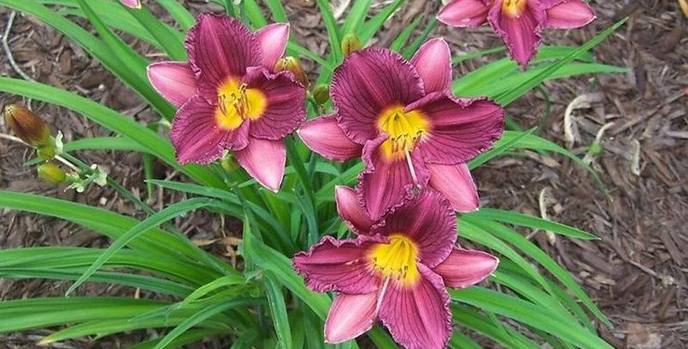 'Purple D'Oro' Daylily (Hemerocallis)