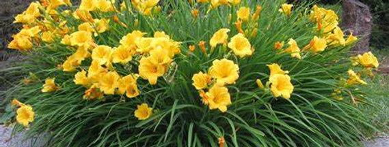 'Stella D'Oro' Daylilly (Hemerocallis)