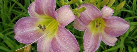 'Catherine Woodbury' Daylily (Hemerocallis)