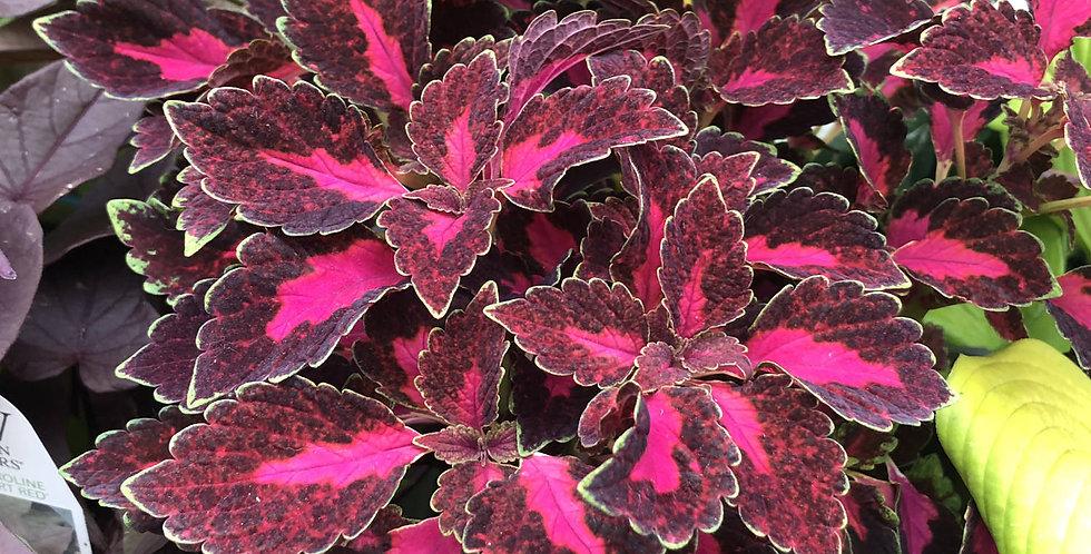 'Colorblaze Velveteen' Coleus