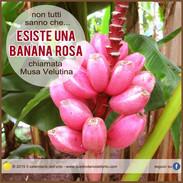 banana rosa musa velutina