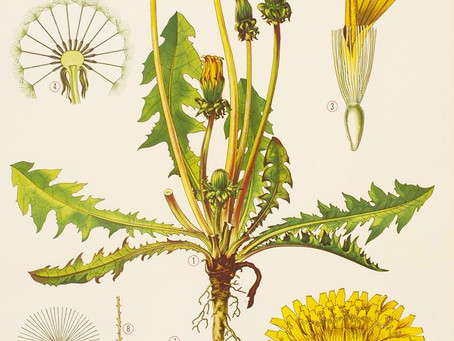 Tarassaco: il fiore delle meraviglie