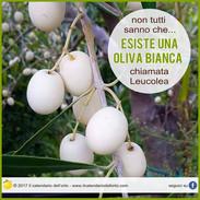 oliva bianca Leucolea