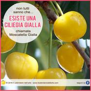 ciliegia gialla moscatella