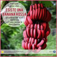 banana rossa Red Dacca