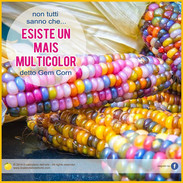 mais multicolor gem corn