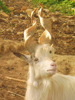 Sicilian Goat