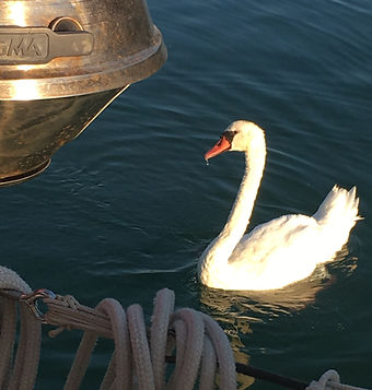 Feeding the swans.JPG