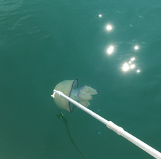 Huge jellyfish.JPG