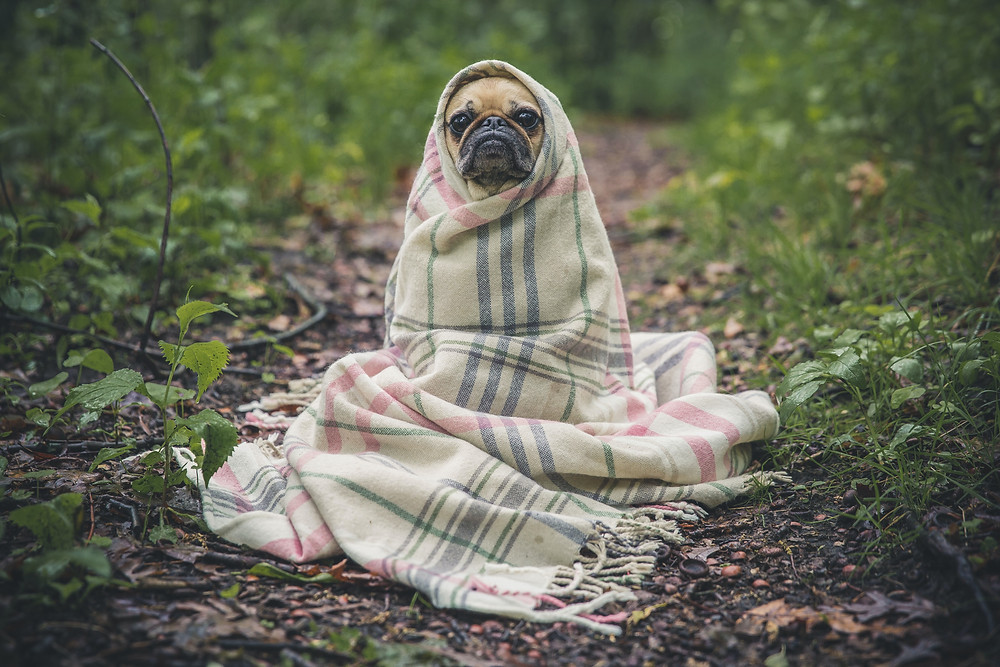 A small pug wrapped in a blanket