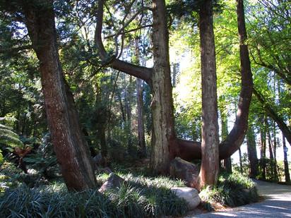 Túia-gigante do Parque da Pena