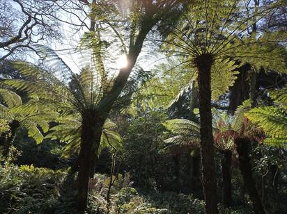 Fetos-arbóreos no Parque da Pena