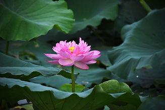 lotus-flowers-4283820_1920.jpg