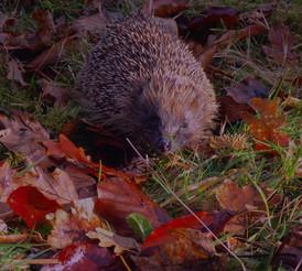 Kinlochlaich Hedgehog