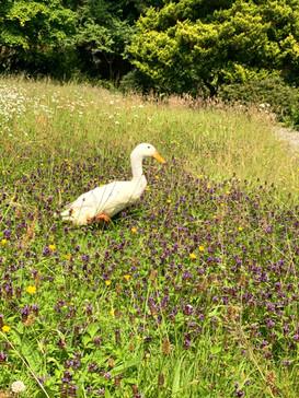 Kinlochlaich Duck