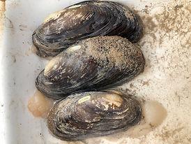 Texas Hornshell Mussel.jpg