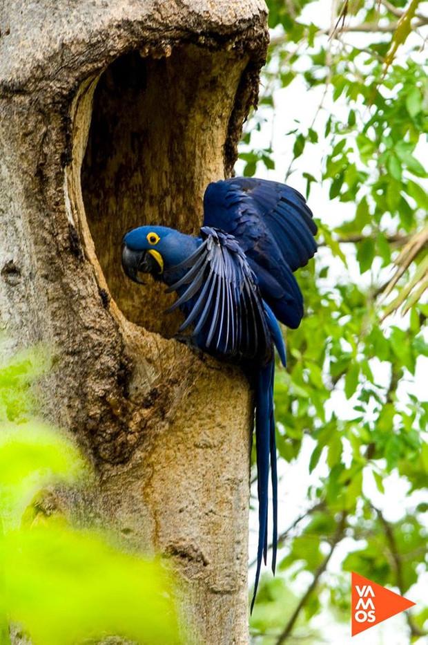 La paraba Jacinto o paraba azul (Anodorhynchus hyacinthinus)