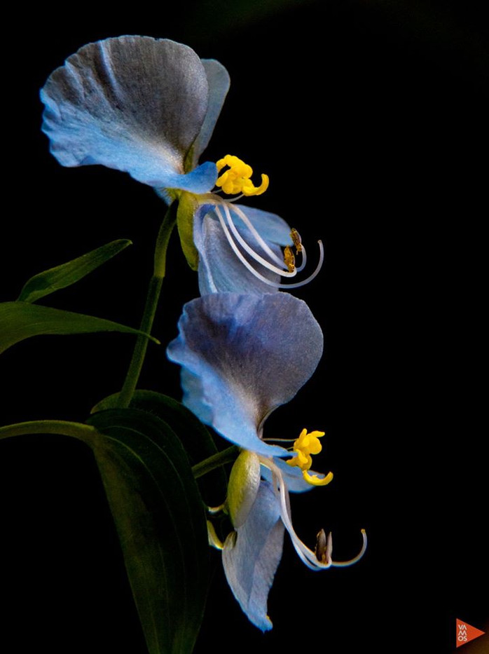 Commelina sp.