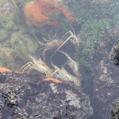 Lobsters!!!