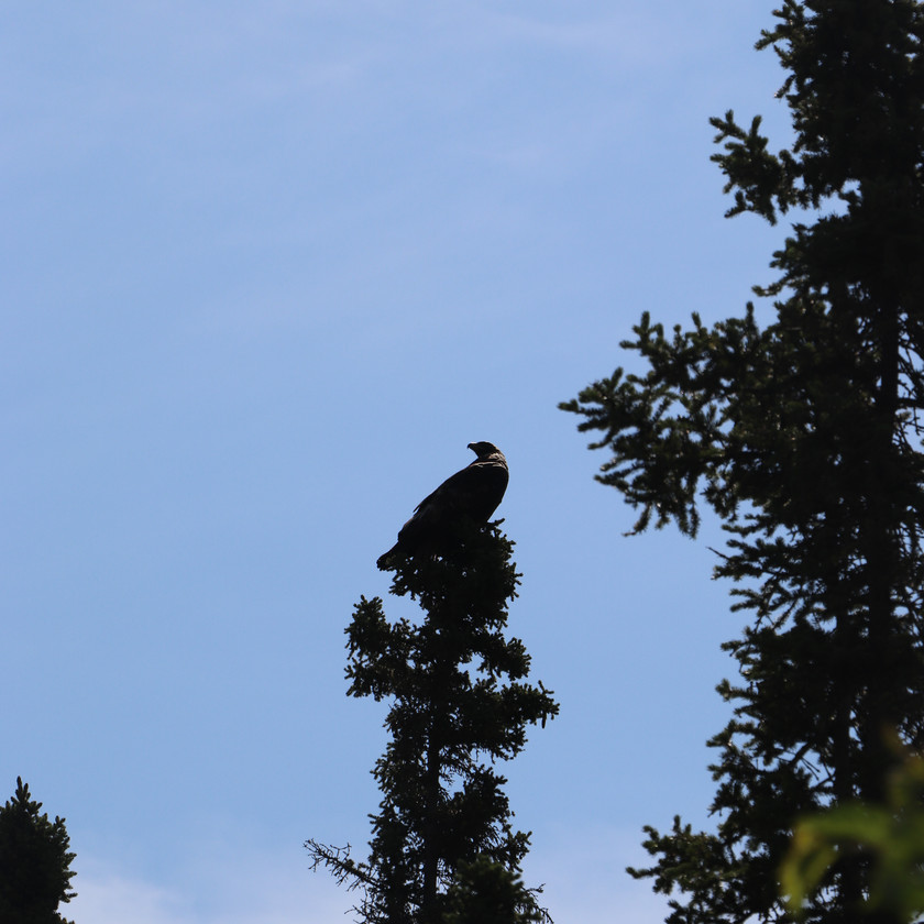 Eagle on the McCarthy Road Wrangell-St. Elias National Park and Preserve
