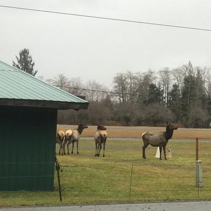Moose? Elk?
