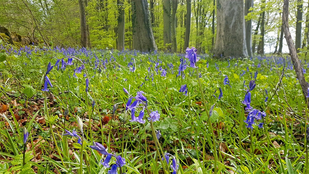 Delicate flowers of native English bluebells can be seen in the Cotswolds from mid-April to mid-May