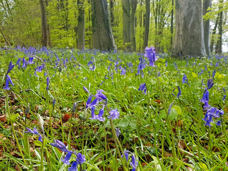 Bluebell woodland walks in the Cotswolds