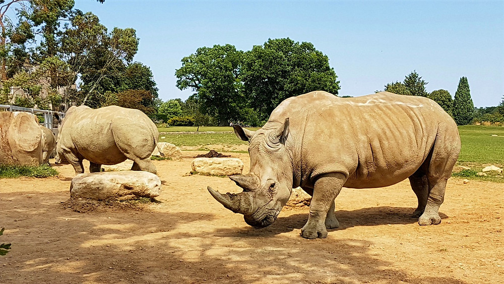 White rhinos of Cotswold Wildelife Park and Gardens are visitors' favourite animals