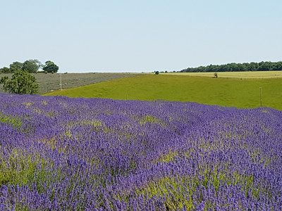 Over 50 acres of lavender