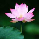 Lotus Pink — Ou He Se (藕荷色)