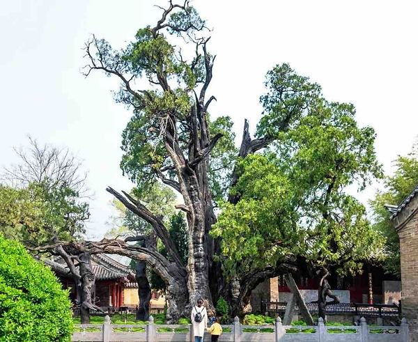 """Ancient Cypress (believed at least 4500 years old) Granted as """"General"""" by Emperor Wu of Han in the year 110 BC when He was Worshiping on Mount Song."""