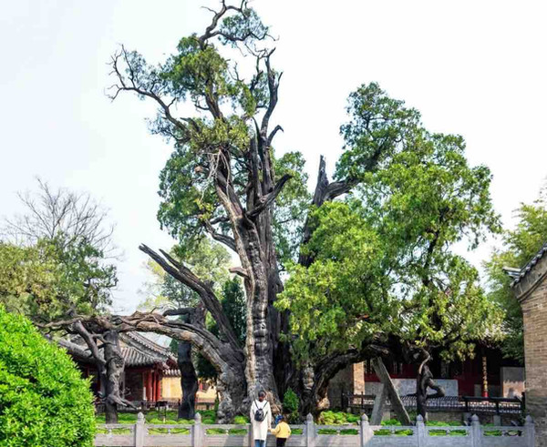 "Ancient Cypress (believed at least 4500 years old) Granted as ""General"" by Emperor Wu of Han in the year 110 BC when He was Worshiping on Mount Song."