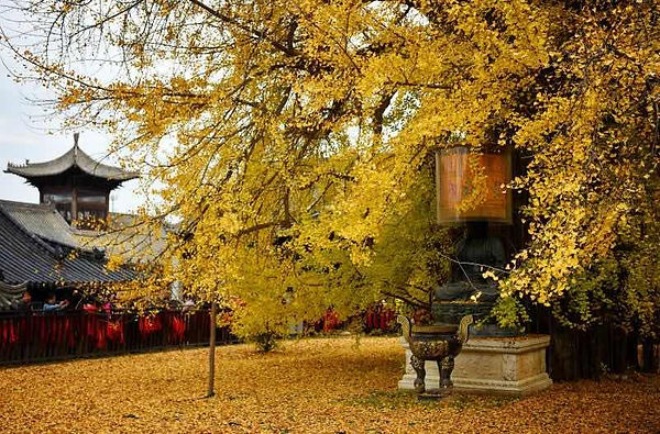 Ancient Ginkgo Tree of Guanyin Temple in Xi'an City, Believed was Planted by Emperor Taizong of Tang