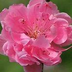 Peach Blossom Red — Tao Hong (桃红)