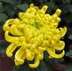 Chrysanthemum of September in Traditonal Chinese Calendar
