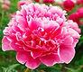 Chinese Flower Peony
