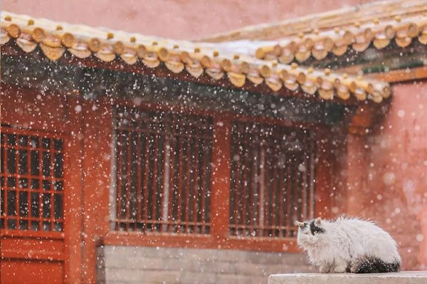 Cat of the Forbidden City or Palace Museum