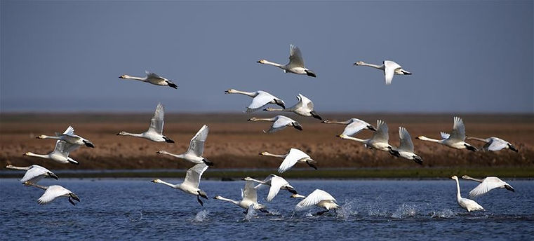 Swans in East Dongting Lake National Nature Reserve