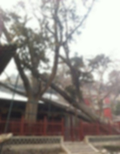 Cypress Planted in the Zhou Dynasty in Jinci Temple of Taiyuan City, Shanxi Province