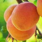 Apricot Yellow — Xing Huang (杏黄)