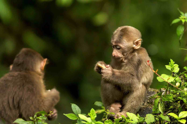 Monkeys of Mount Emei.