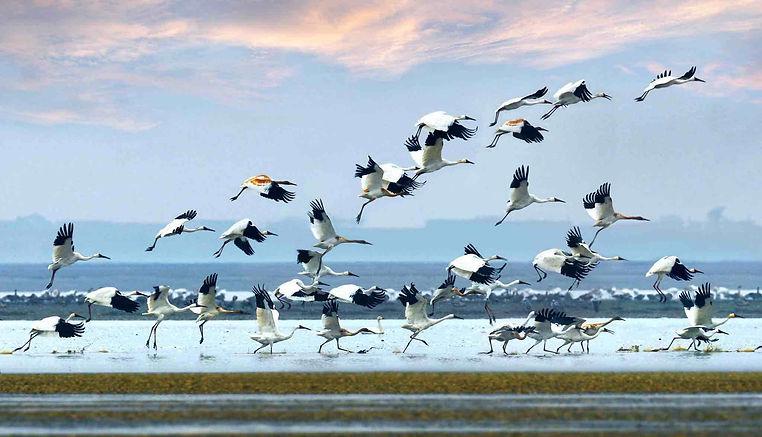Birds of Poyang Lake