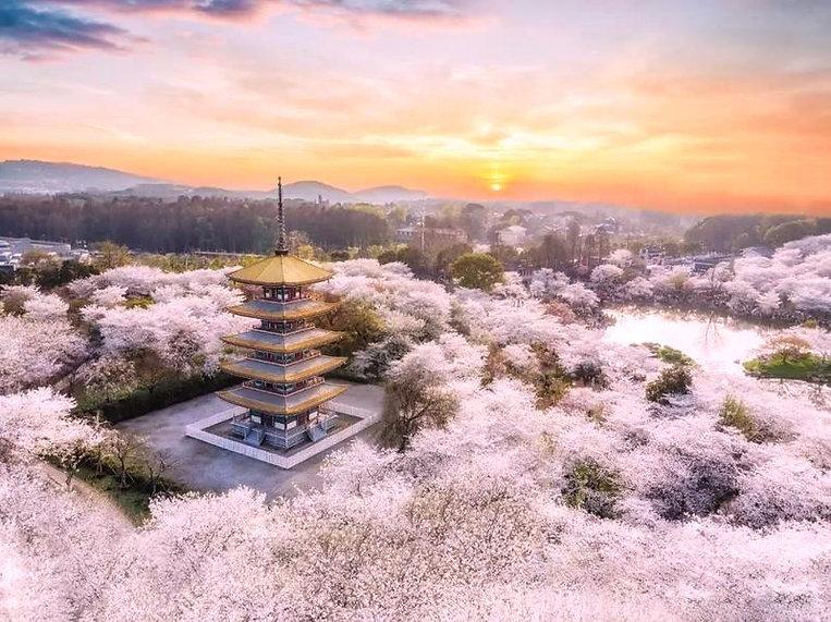 Cherry Blossom Garden of East Lake of Wuhan